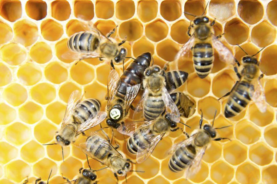Queen+bee+in+a+beehive+laying+eggs+supported+by+worker+bees.