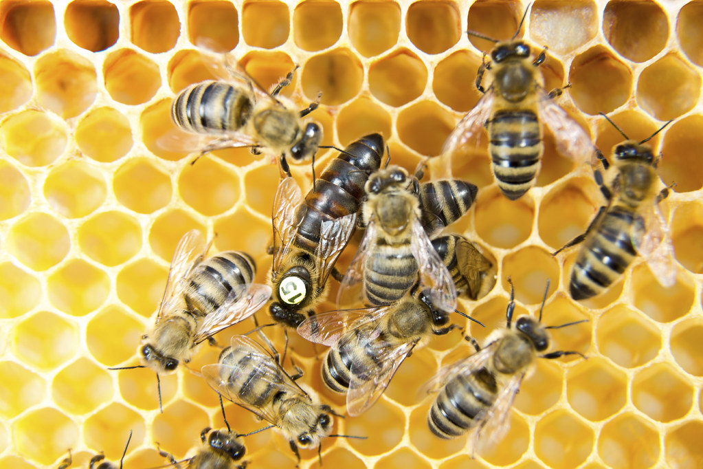 Queen bee in a beehive laying eggs supported by worker bees.