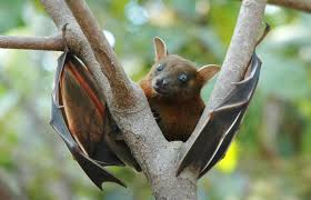 A cute short nosed fruit bat.