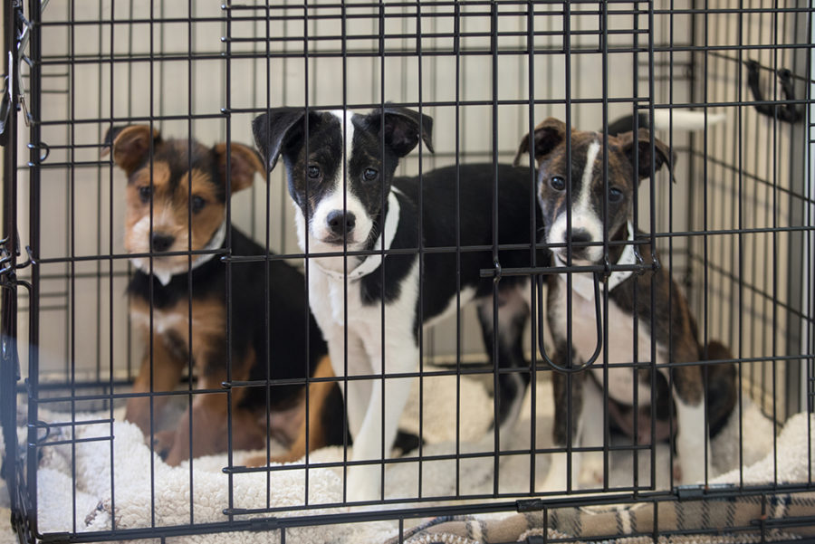 Admist+the+pandemic%2C+there+has+been+a+wave+of+pet+adoptions.