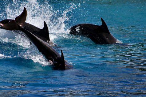 A dolphin swimming in the Faroe Islands