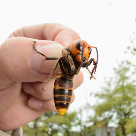 The Asian giant hornet, Vespa mandarinia